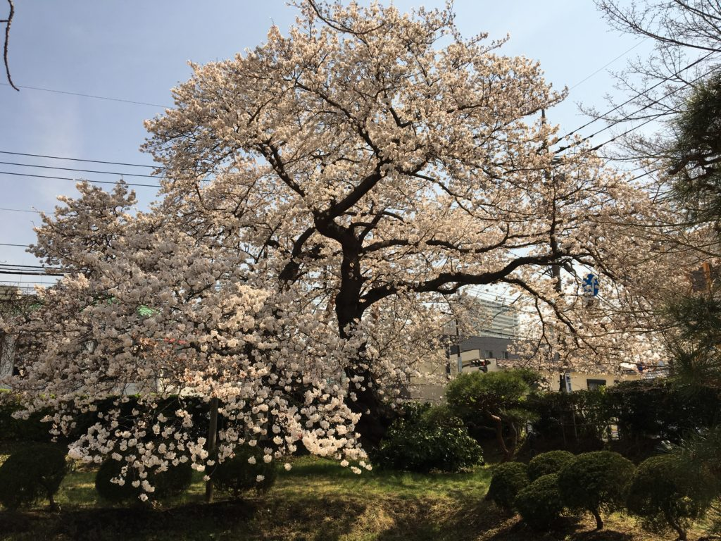 相模女子大の桜1