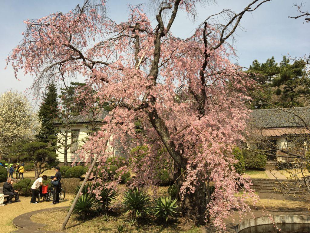 相模女子大の桜2
