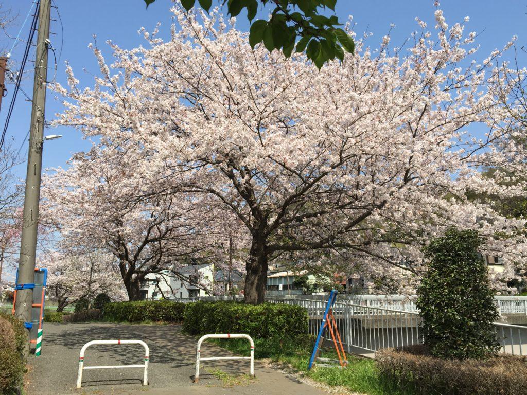 引地川沿いの桜