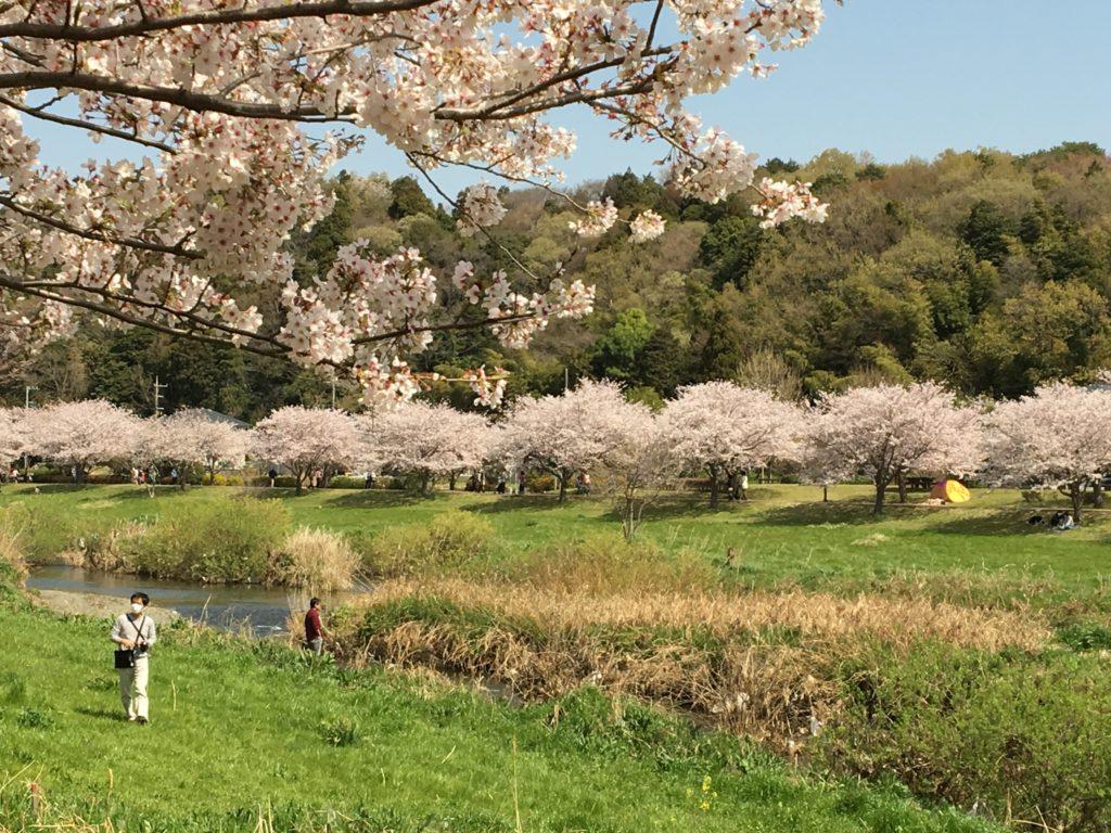 引地川親水公園の桜2