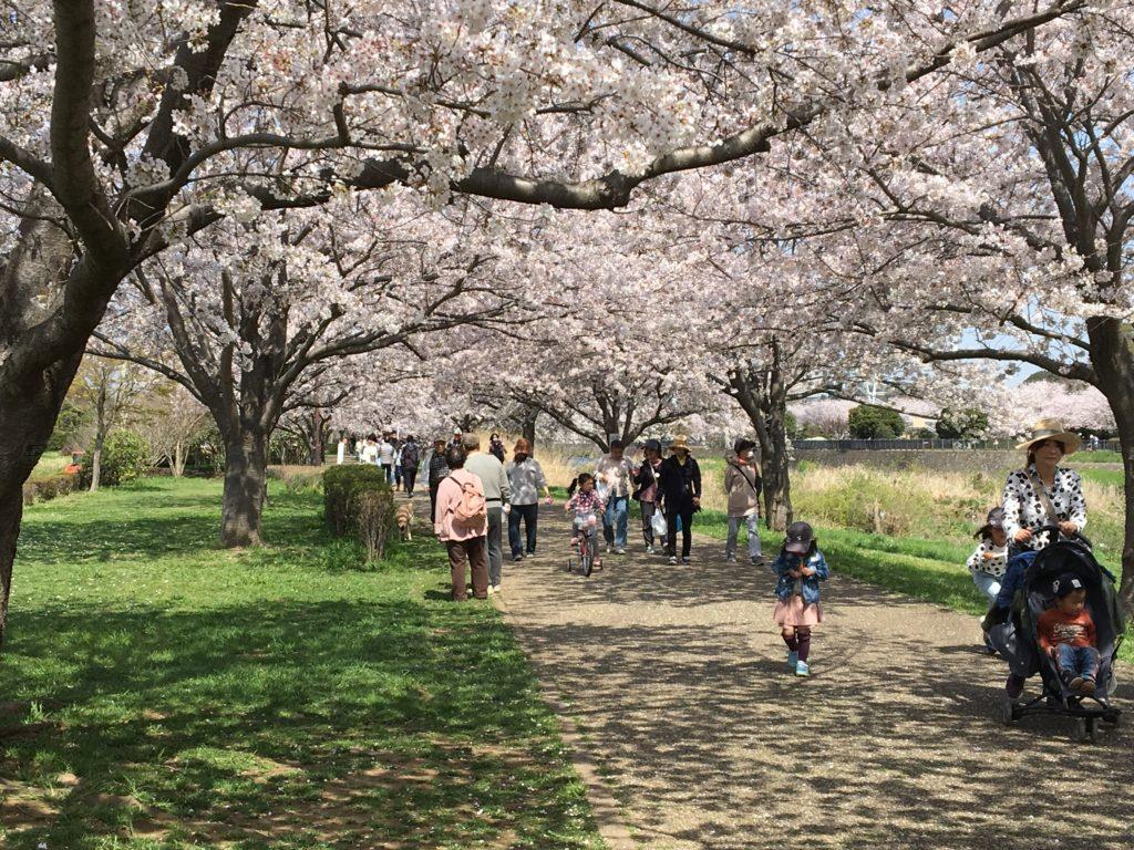 引地川親水公園の桜1