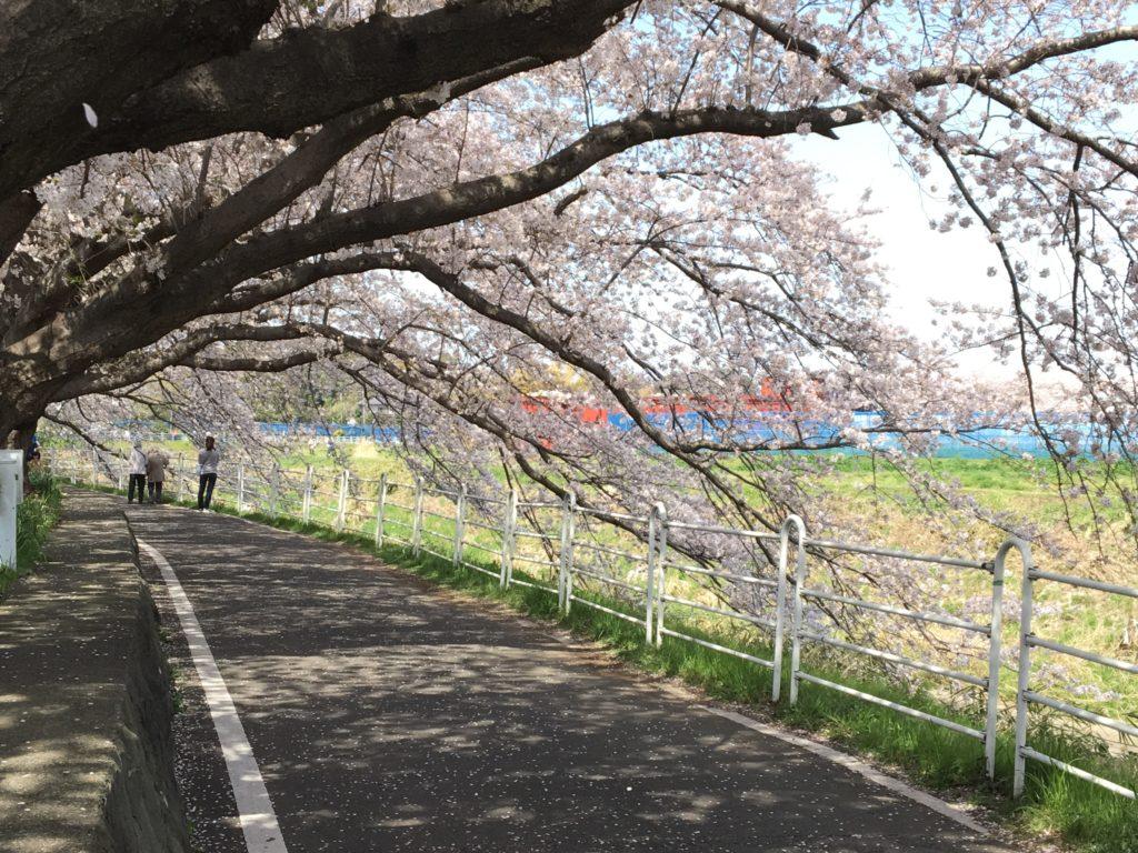 境川の桜1