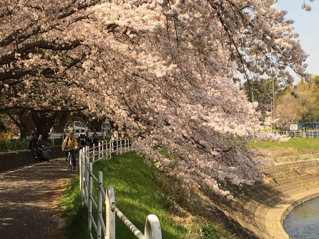 境川の桜2