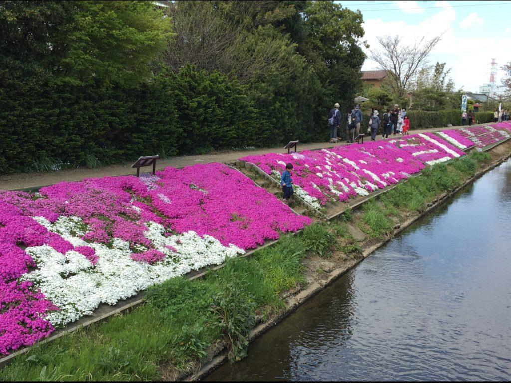 渋田川沿いの芝桜.1