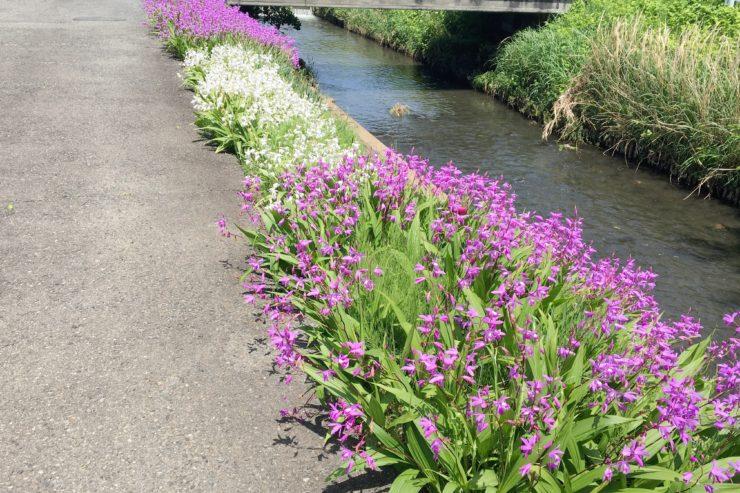 渋田川の花