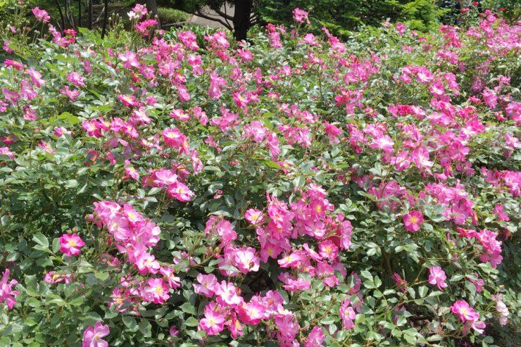 野生種の薔薇