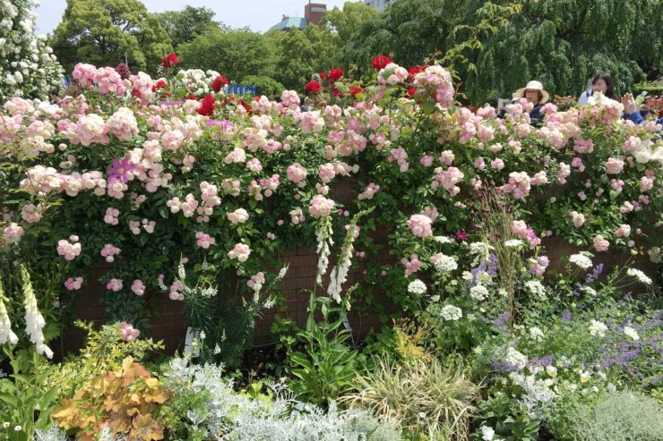 薄いピンクの薔薇