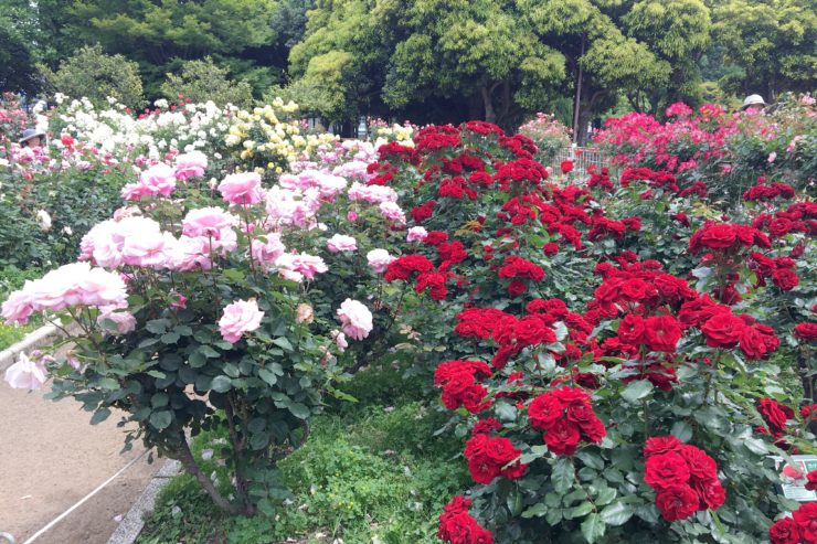 多くのバラ