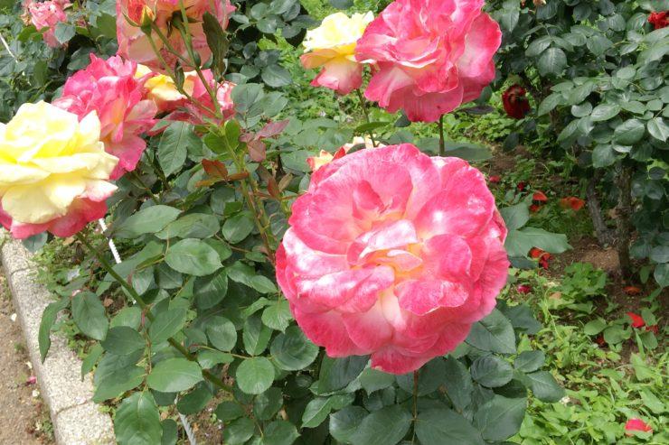 牡丹のようなバラ