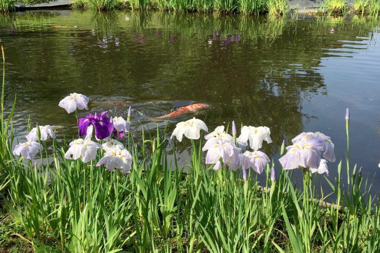 鯉と花菖蒲