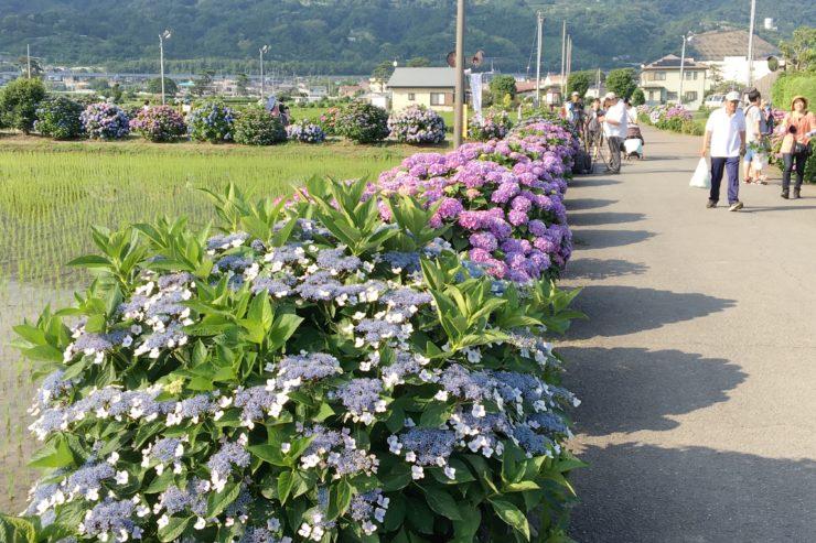 畑の周りの紫陽花