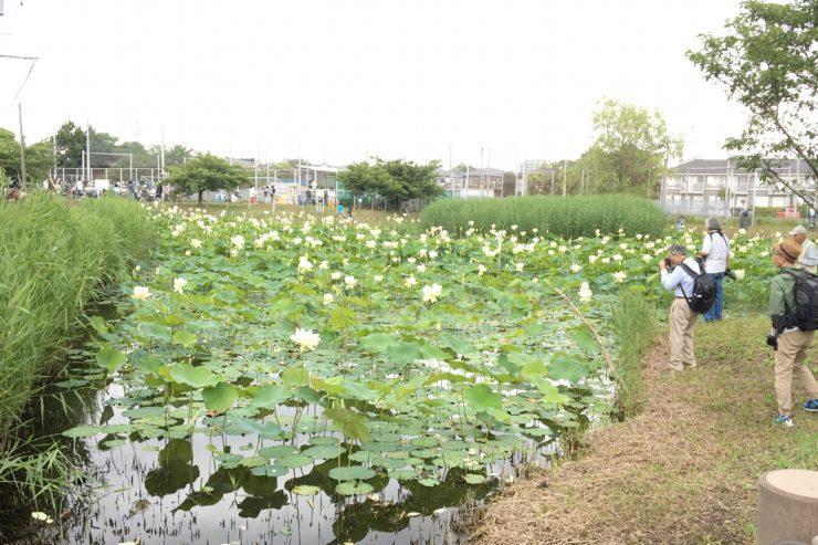 第一はす池