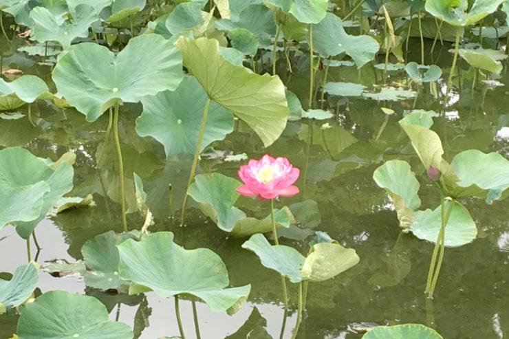 第二はす池