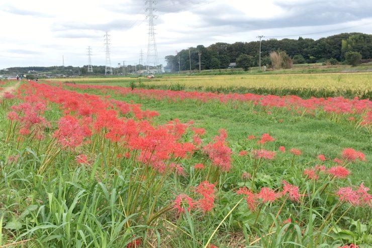 遠藤地区の彼岸花