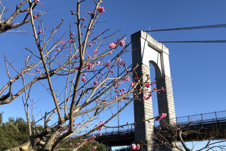 秦野戸川公園の梅