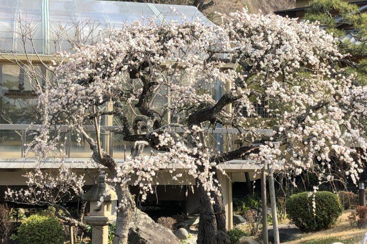 旧吉田茂邸の梅