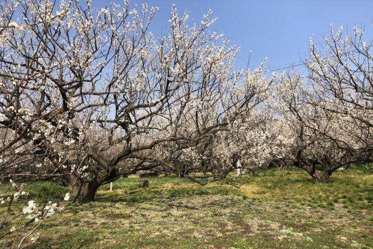 原梅林の梅