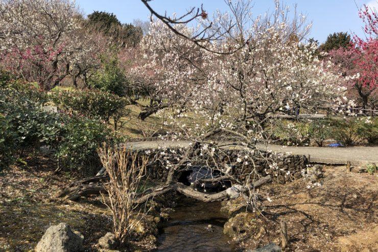 小田原フラワーガーデンの梅