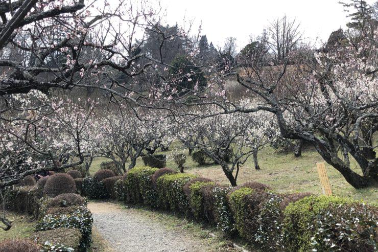 辻村植物公園の梅