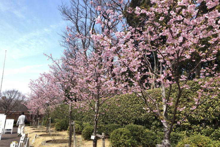 馬の博物館の桜