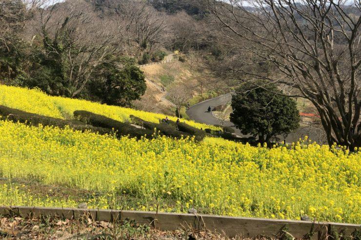 金沢自然公園の菜の花