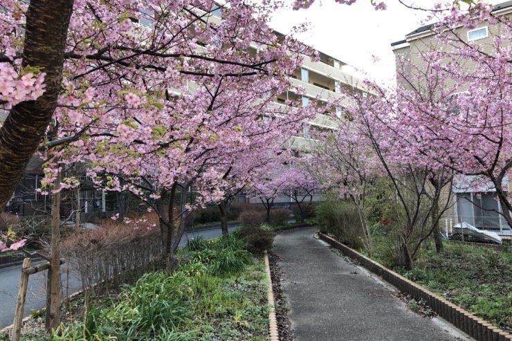 平戸永谷川の河津桜