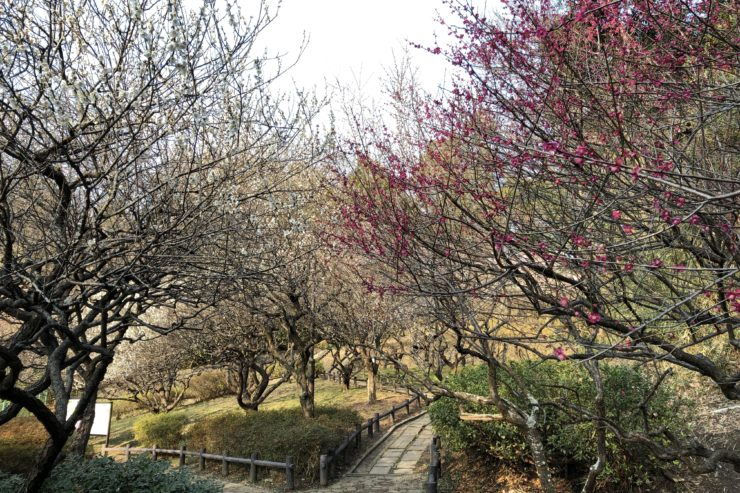岡村公園の梅林