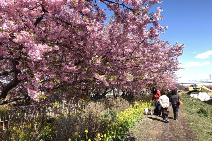 小出川桜まつり