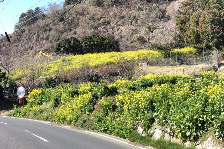 山あいの菜の花