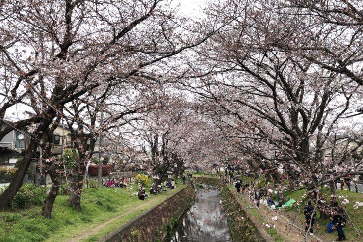 引地川千本桜