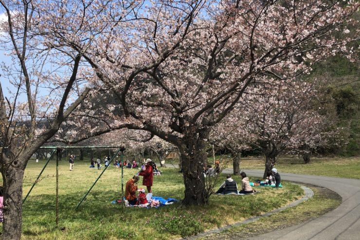 久里浜駐屯地の桜