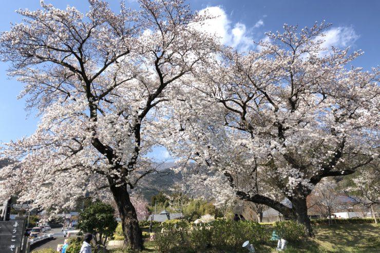 秦野戸川公園の桜