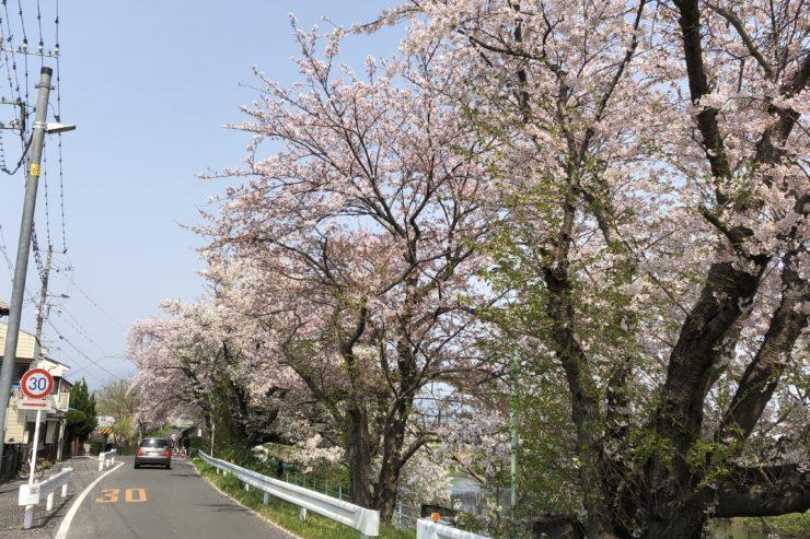 花水川の桜