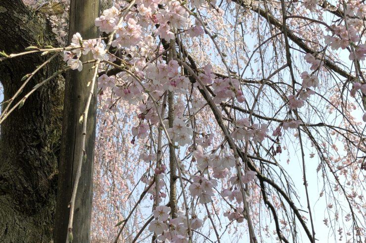 土佐原しだれ桜