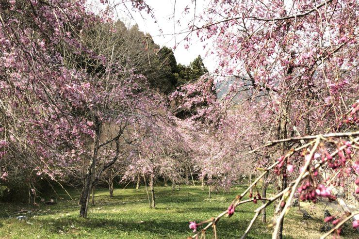 中津川のしだれ桜