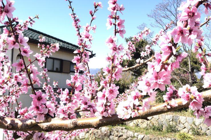 笛吹市の桃の花