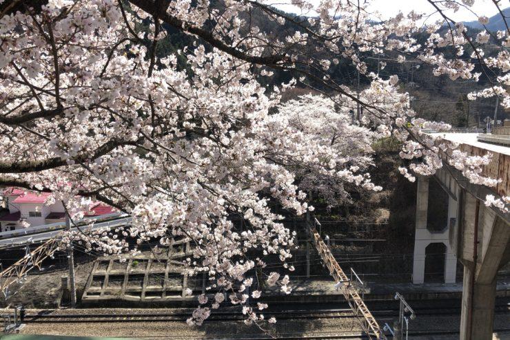 路線脇の桜