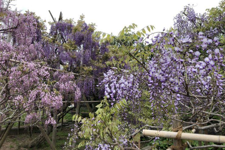 長井さん宅の藤の花