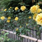 綾瀬市の城山公園バラ園