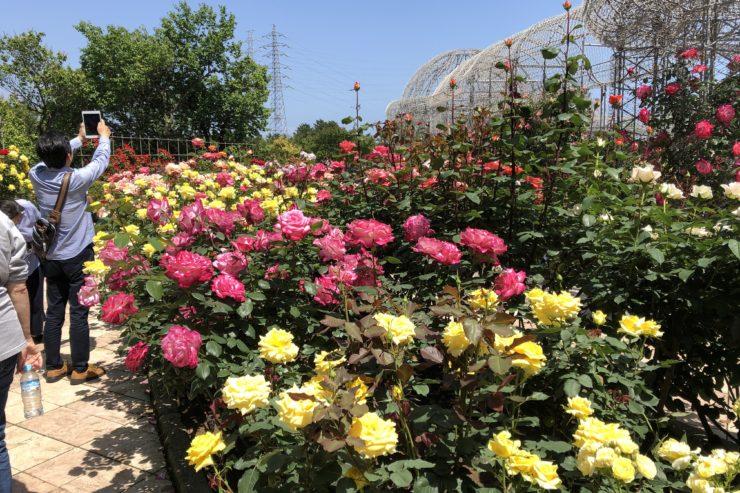 小田原フラワーガーデンの薔薇