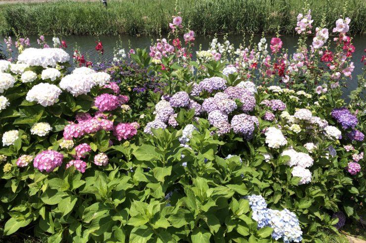 紫陽花とハナアオイ