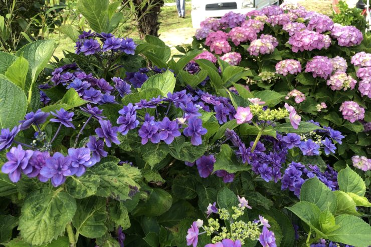 開成町の紫陽花