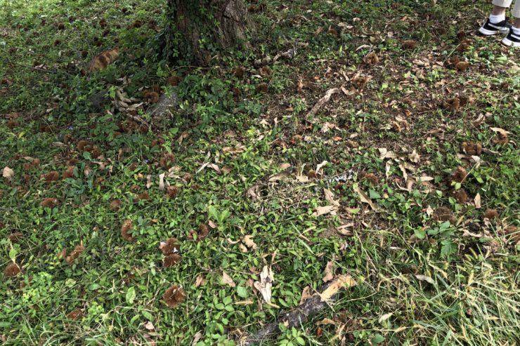 クリの木の下