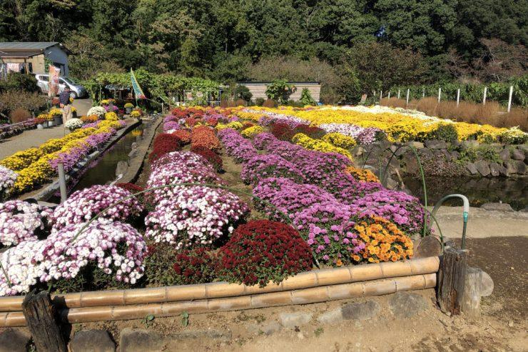 花咲く里山のざる菊