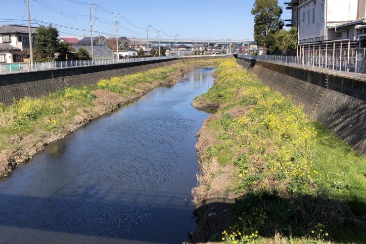 目久尻川の菜の花