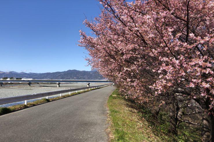 酒匂川の桜