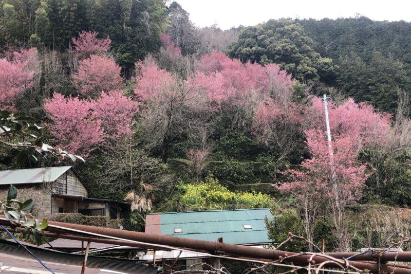 きのこ苑お山のたいしょうのおかめ桜