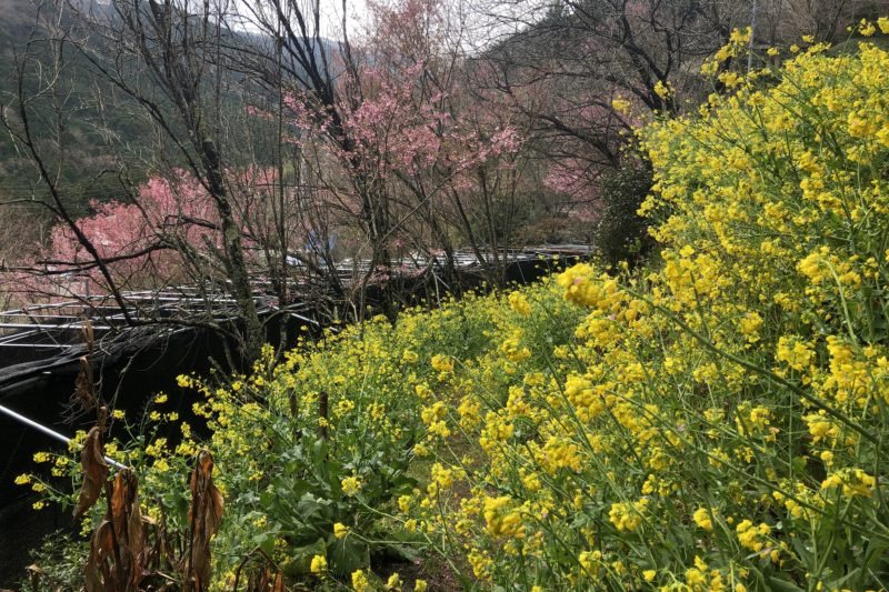 きのこ苑お山のたいしょうの菜の花