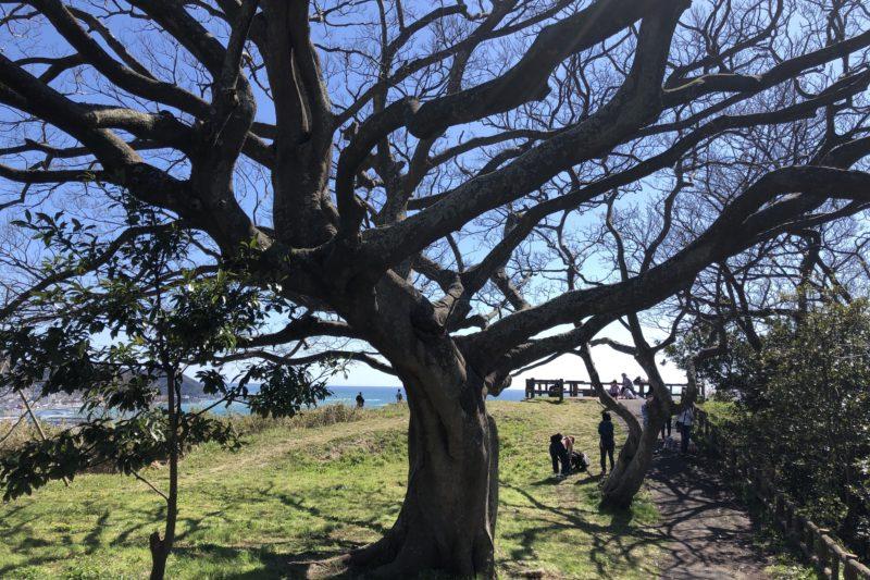 大崎公園の大樹