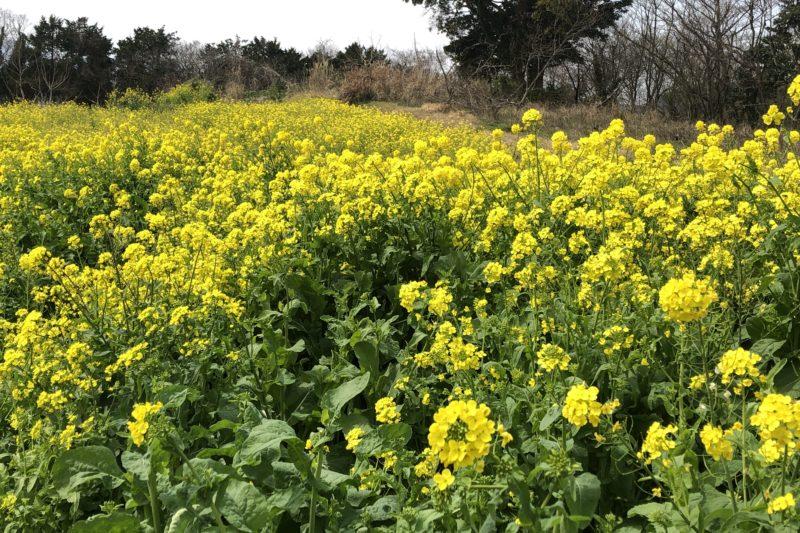 大井町の菜の花畑